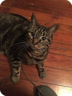 Domestic Shorthair Cat for adoption in Carlisle, Pennsylvania - Raina