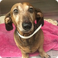 Adopt A Pet :: Benny - Oak Ridge, NJ