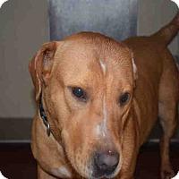 Labrador Retriever/Bull Terrier Mix Dog for adoption in Newnan City, Georgia - Dycember