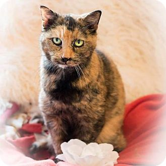 Domestic Shorthair Cat for adoption in Naugatuck, Connecticut - Kit