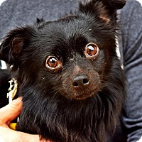 Chihuahua/Pomeranian Mix Dog for adoption in Manassas, Virginia - Fuzzy