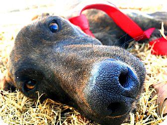 Greyhound/Whippet Mix Dog for adoption in Muldrow, Oklahoma - Silo