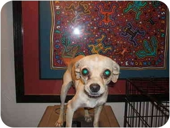 Chihuahua Dog for adoption in SCOTTSDALE, Arizona - MOUSE