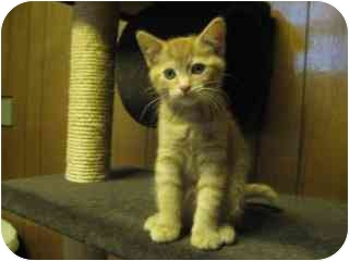 Domestic Shorthair Kitten for adoption in Davis, California - Prince Michael