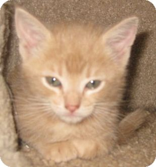 Maine Coon Kitten for adoption in Dallas, Texas - Butterscotch
