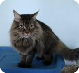 Maine Coon Cat for adoption in Arlington, Virginia - Kobee (Adoption Pending)