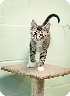 Domestic Shorthair Kitten for adoption in Carencro, Louisiana - Bandit