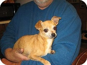 Chihuahua Dog for adoption in Salem, New Hampshire - Flora