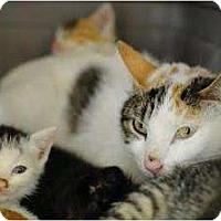 Adopt A Pet :: Lola - New York, NY