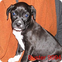 Adopt A Pet :: Buster - Greencastle, NC