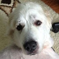 Great Pyrenees Mix Dog for adoption in Silver Spring, Maryland - Ivory