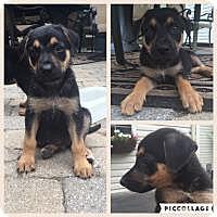 Adopt A Pet :: GUS - Marlton, NJ