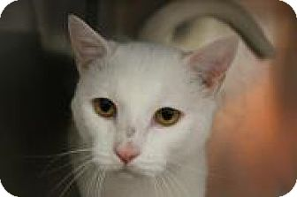 Domestic Shorthair Cat for adoption in Huachuca City, Arizona - Milo