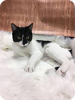 Domestic Shorthair Kitten for adoption in THORNHILL, Ontario - LAFAYETTE