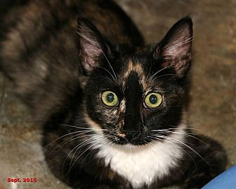 Domestic Shorthair Cat for adoption in Encino, California - Allie