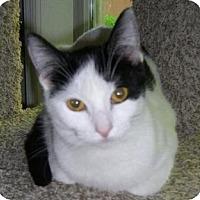 Domestic Shorthair Cat for adoption in Valley Park, Missouri - Adrianna