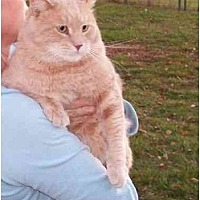 Domestic Shorthair Cat for adoption in Stuarts Draft, Virginia - Sherbert