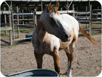 Appaloosa for adoption in Hitchcock, Texas - Flashy Cash