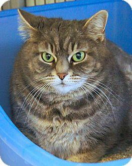 American Shorthair Cat for adoption in Victor, New York - Honey