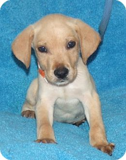 Labrador Retriever Mix Puppy for adoption in Phillips, Wisconsin - Abe