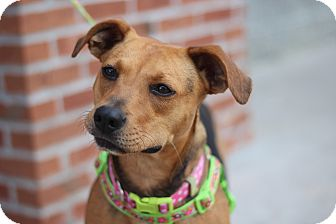 American Staffordshire Terrier/Boxer Mix Dog for adoption in Richmond, Virginia - Cher