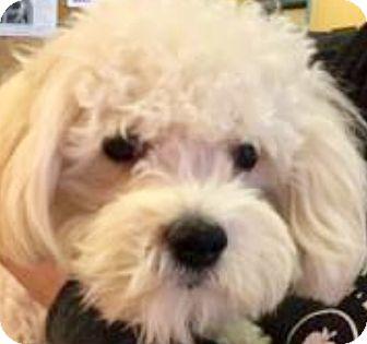 Maltese/Poodle (Miniature) Mix Puppy for adoption in Oswego, Illinois - Simon