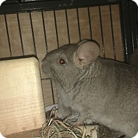 Adopt A Pet :: Ringo - Avondale, LA