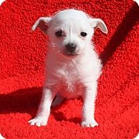 Adopt A Pet :: Asher - Henderson, NV