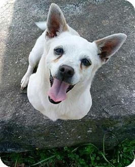 Chihuahua/Dachshund Mix Dog for adoption in Blacksburg, South Carolina - Bliss