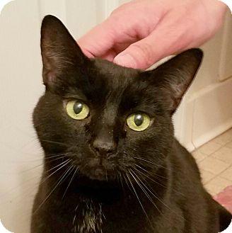 Domestic Shorthair Cat for adoption in Fairfax, Virginia - Celeste