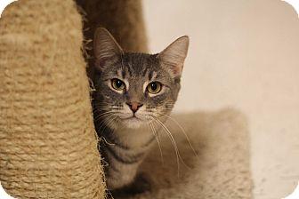 Domestic Shorthair Cat for adoption in Richmond, Virginia - Hushpuppy