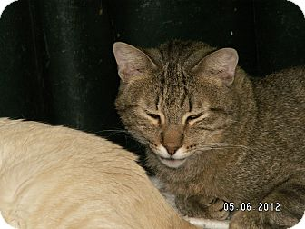 Domestic Shorthair Cat for adoption in Ridgecrest, California - Donald