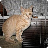 Adopt A Pet :: Goldie - Portland, ME