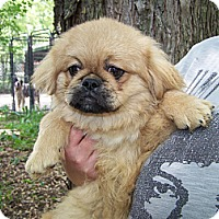 Adopt A Pet :: Pekingese Puppy - Antioch, IL
