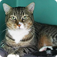 Domestic Shorthair Cat for adoption in Bellevue, Washington - Boots