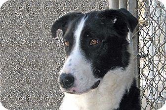 Border Collie Dog for adoption in Ruidoso, New Mexico - Beatrix