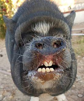 Pig (Potbellied) for adoption in Las Vegas, Nevada - Kosha
