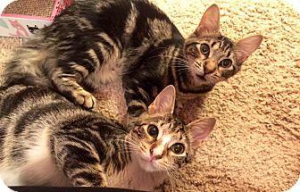 American Shorthair Kitten for adoption in Jacksonville, Florida - Bonnie & Clyde