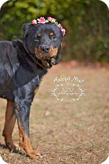 Rottweiler Dog for adoption in Fort Valley, Georgia - Precious