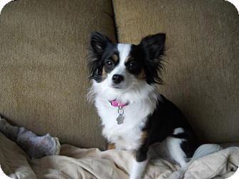 Chihuahua Dog for adoption in Toronto, Ontario - Lady 3408