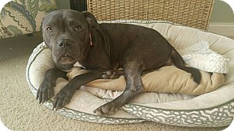"American Pit Bull Terrier Mix Dog for adoption in Des Peres, Missouri - Daphne ""Boogz"""