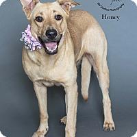 Adopt A Pet :: Honey - Houston, TX