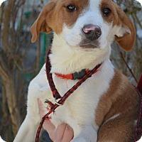Adopt A Pet :: Aggie - Danbury, CT
