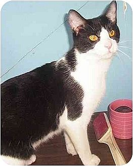 Domestic Shorthair Cat for adoption in Chapman Mills, Ottawa, Ontario - BO BO