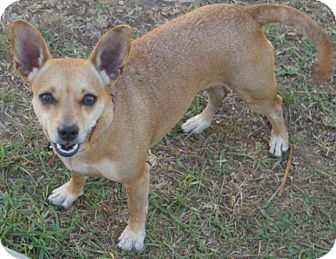 Jack Russell Terrier/Chihuahua Mix Dog for adoption in Torrance, California - TINY