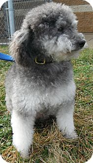 Poodle (Miniature) Dog for adoption in Jackson, Michigan - Oreo