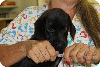 Labrador Retriever/Hound (Unknown Type) Mix Puppy for adoption in Waldorf, Maryland - Houston