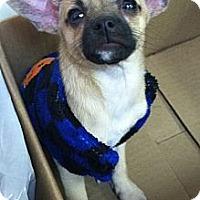 Adopt A Pet :: Chi Chi - Hazard, KY