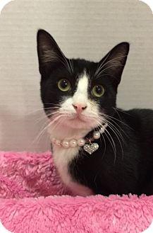 Domestic Shorthair Kitten for adoption in Pasadena, Texas - Ziggy