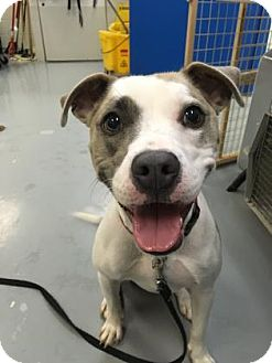 Boxer/Pit Bull Terrier Mix Dog for adoption in Adrian, Michigan - Rosie